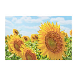 Sunflower Blossoms Photograph Canvas Wall Art view 1