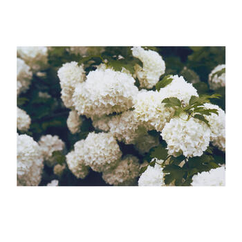 "24""x36"" White Blossoms Canvas Wall Art view 1"