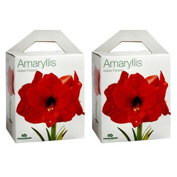 Red Amaryllis Bulb Growing Kits, Set of 2