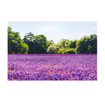 Lavender Field Photograph Canvas Wall Art view 1