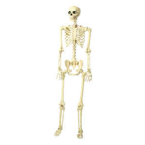 Seasons  Human Skeleton  Halloween Decoration  60 in. H x 6.5  L x 15.5  W 1