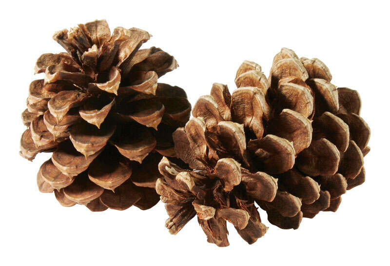 Buffalo Broom Company  Cinnamon Scent  Pinecones  Brown  Branches  13 pk